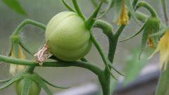 Как снизить температуру в теплице при выращивании помидоров