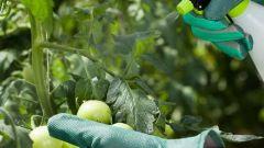 Какие болезни у помидоров: лечение и профилактика