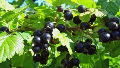 Почему на листьях смородины белый налет