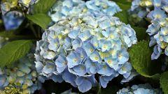 Как вырастить голубую гортензию