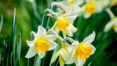 Можно ли пересадить нарциссы сразу после цветения