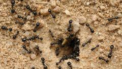 Как вывести муравьев из дома и с огорода