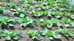 Как растить капусту в открытом грунте
