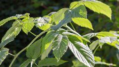Почему листья малины желтеют в июне