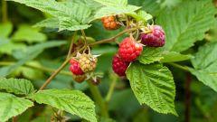 Какими полезными свойствами обладают ягоды и листья малины