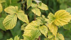 Почему желтеют листья малины