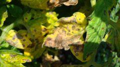 Как бороться с желтеющими листьями на помидорах