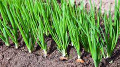 Чем подкормить лук