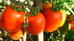Чем подкормить помидоры в открытом грунте