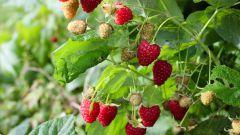 Как ухаживать за малиной летом, чтобы был хороший урожай