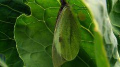 Как избавиться от бабочки-капустницы на дачном участке