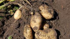 Можно ли в августе копать картошку