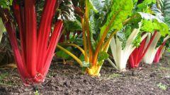 Чем полезен мангольд и как его выращивать