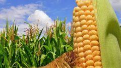 Чем подкормить кукурузу для лучшего урожая
