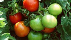 Как консервировать зеленые помидоры