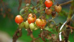 Почему чернеют листья у помидоров в теплице