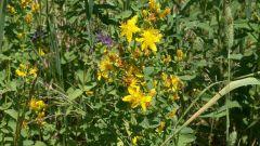 Какие лекарственные травы собирают в июле