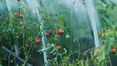 Почему у помидоров верхушки вянут