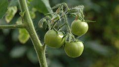 Чем подкормить помидоры в начале плодоношения