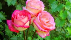 Как отличить розу от шиповника по листьям и побегам