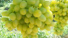 Как выращивать виноград Аркадия правильно
