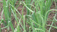 Чем обработать лук в дождливое лето