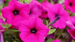 Почему не цветет петуния