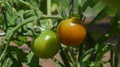 Нужно ли у томатов обрывать нижние листья