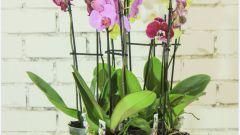 Как ухаживать за орхидеей в горшке после покупки в магазине