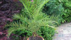 Как посадить и вырастить пальму из финиковой косточки