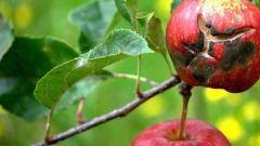 Какие существуют болезни яблонь