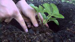 Когда и как сажать клубнику на приусадебном участке