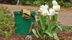 Когда сажать тюльпаны в открытый грунт осенью
