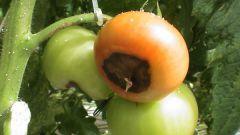 Как лечить вершинную гниль томатов