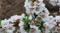 Какие самоплодные сорта вишни подходят для выращивания в Сибири