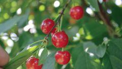 Какие самоплодные сорта вишни подходят для выращивания в Центральных районах России