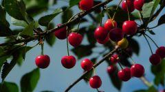 Какую вишню выращивать в Беларуси: самоплодные сорта
