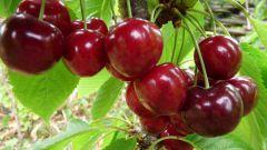 Какой сорт вишни посадить в средней полосе России: выбираем лучший