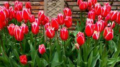 Как посадить тюльпаны, чтобы они пышно и долго цвели