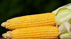 Как варить кукурузу в кастрюле, чтобы была мягкая и сочная