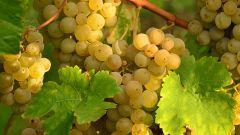 Когда и чем укрывать виноград осенью