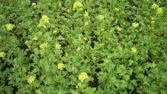 Какие сидераты посеять на своем огороде осенью
