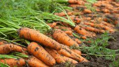 Когда надо приступать к уборке моркови осенью