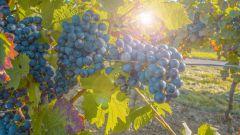 Когда и как обрезать виноград осенью