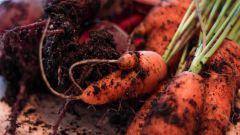 Сажают ли под зиму свеклу, морковь
