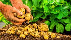 Как понять, что пора копать картошку