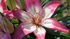 Когда можно сажать лилии в открытый грунт осенью