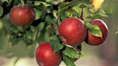 Почему яблони, груши, вишни и сливы плодоносят не каждый год