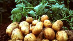 Что делать с ботвой картофеля