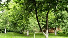 Когда лучше всего пересаживать взрослые плодовые деревья в саду